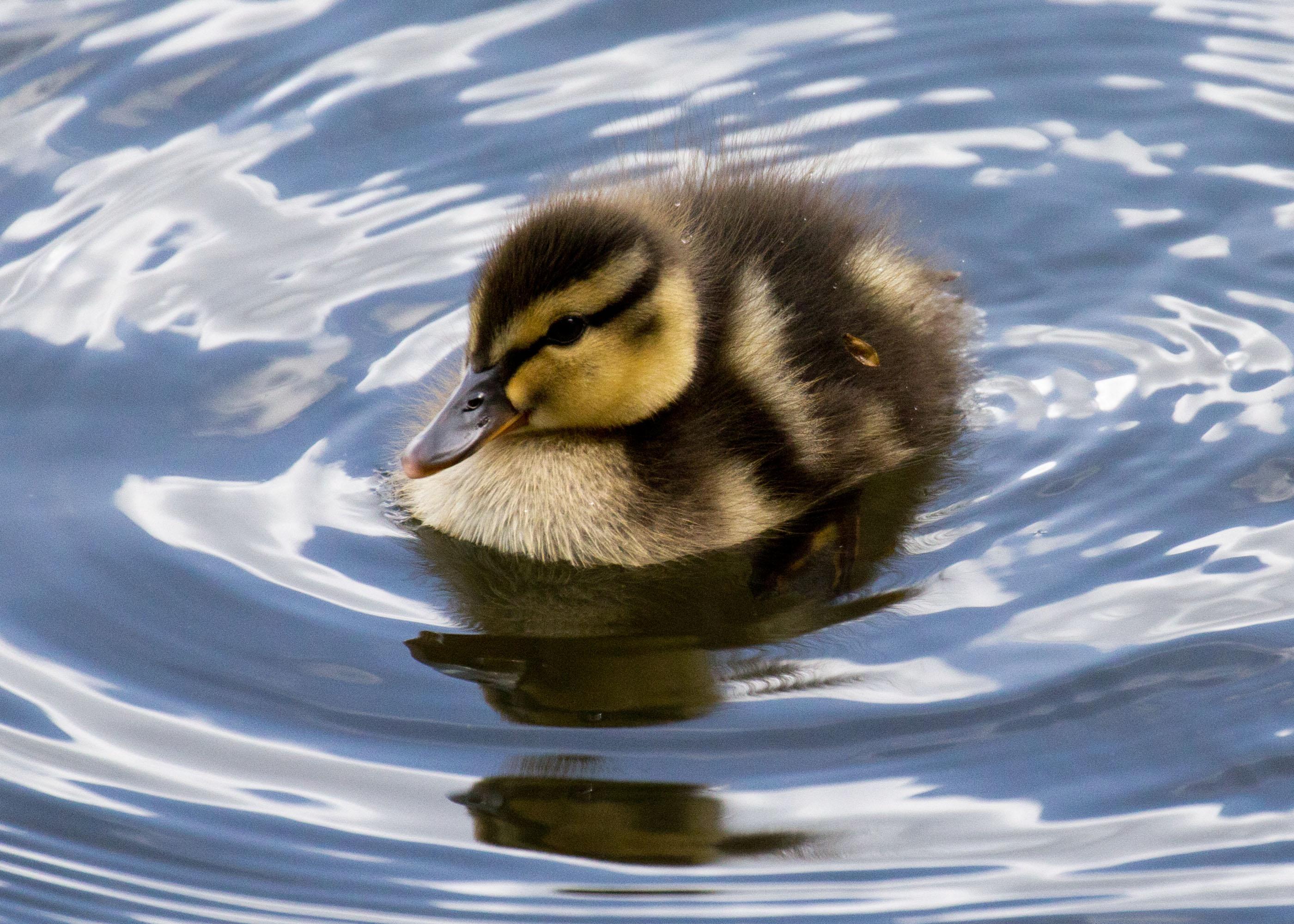 Mallard ducklings as pets