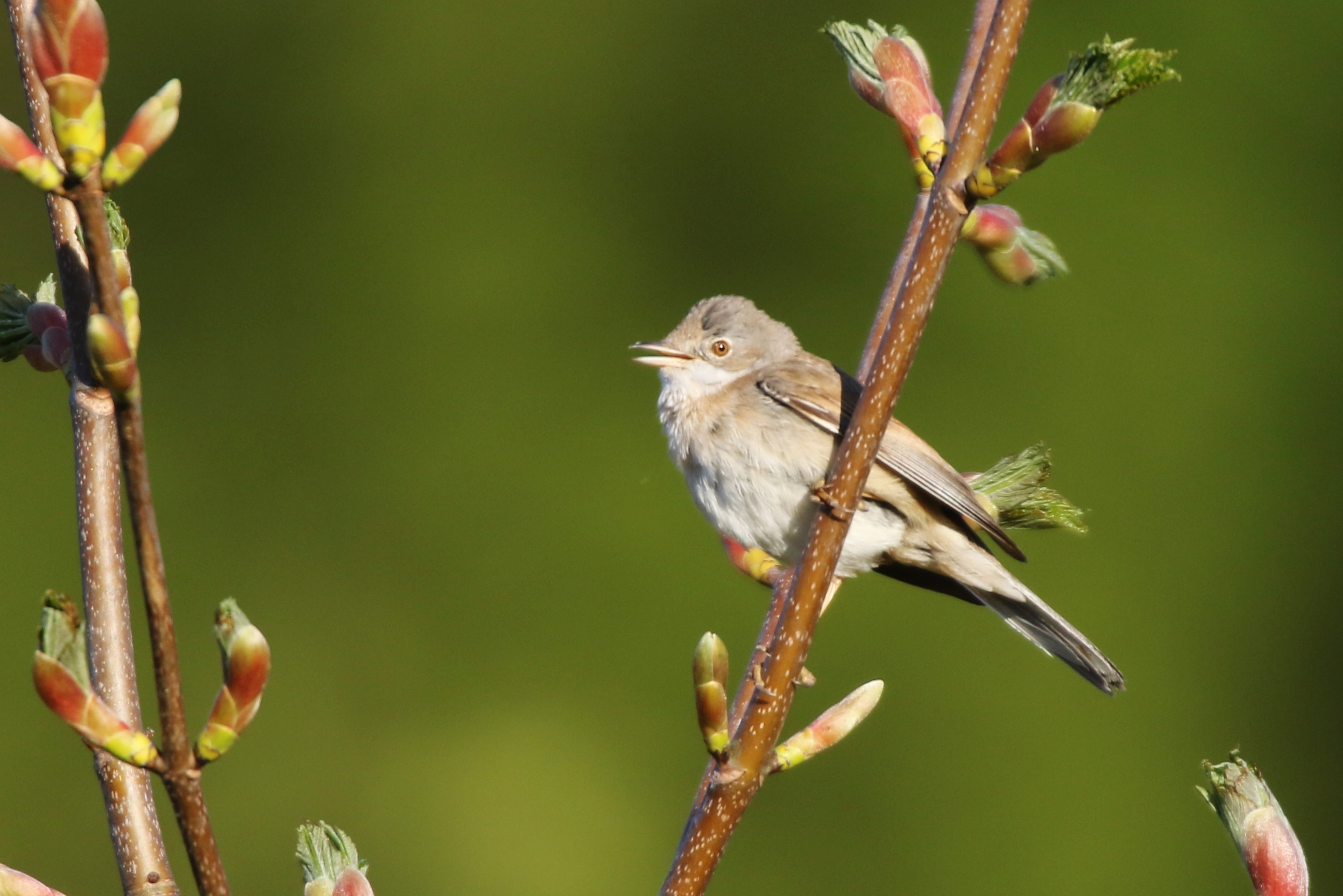 Female Whitethroat Or Reed Warbler The Tea Rooms Chat The Rspb Community