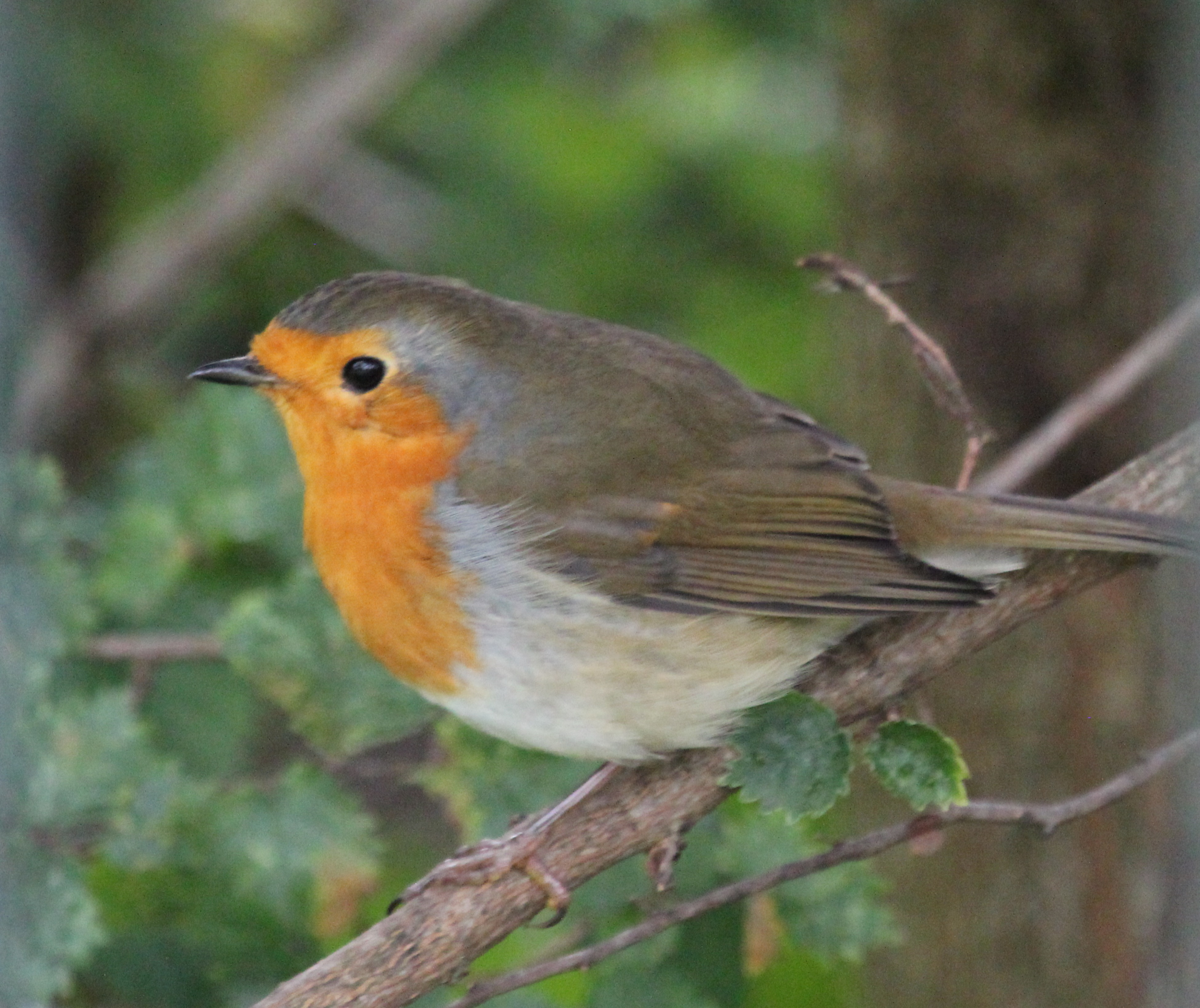 robins chatrooms This authoritative handbook, part of the helm identification guides series, looks in detail at the world's 170 species of robins and chats this large family.