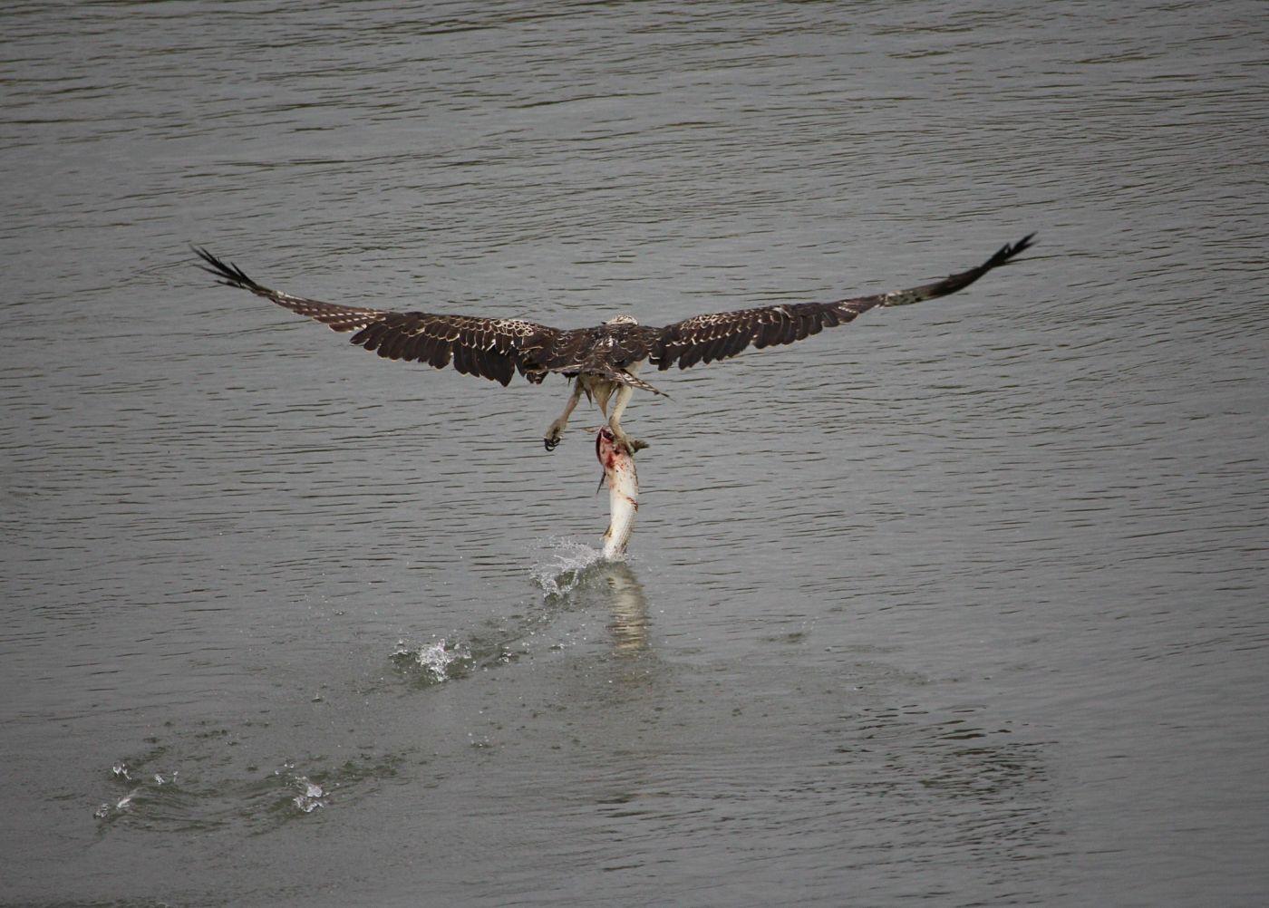 osprey chat rooms Weekly chat (non-osprey), 15 july 2018 posted by diane in indiana  in our dining room i should say that for our overseas friends, a hot summers day here is usually 24 or 25 degrees .