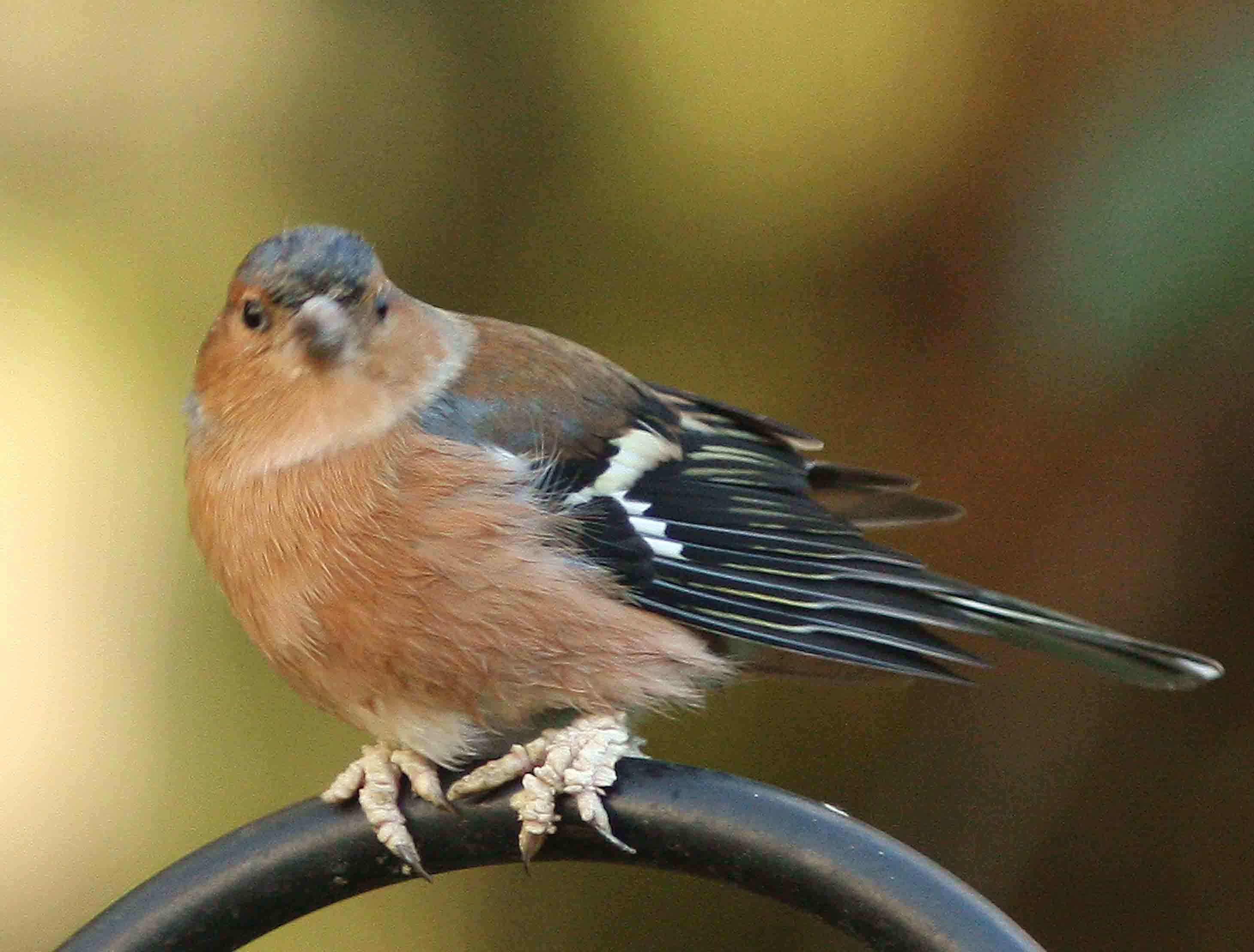 Chaffinch with bad feet - fungus? - Identify this - Wildlife - The ...