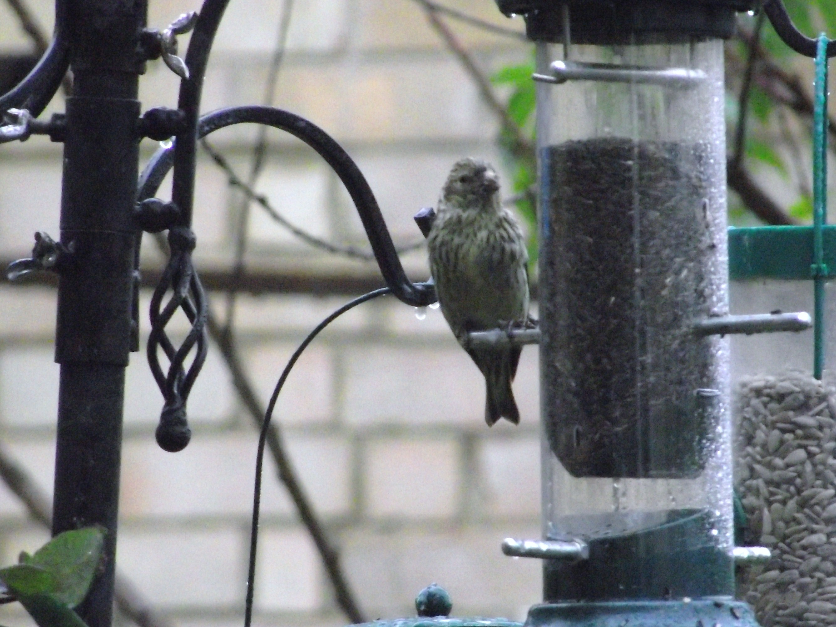 including identify but above on the of one community t this last niger at is please f and greenfinches it now juvenile feeder garden visitors a into what whats goldfinches wildlife