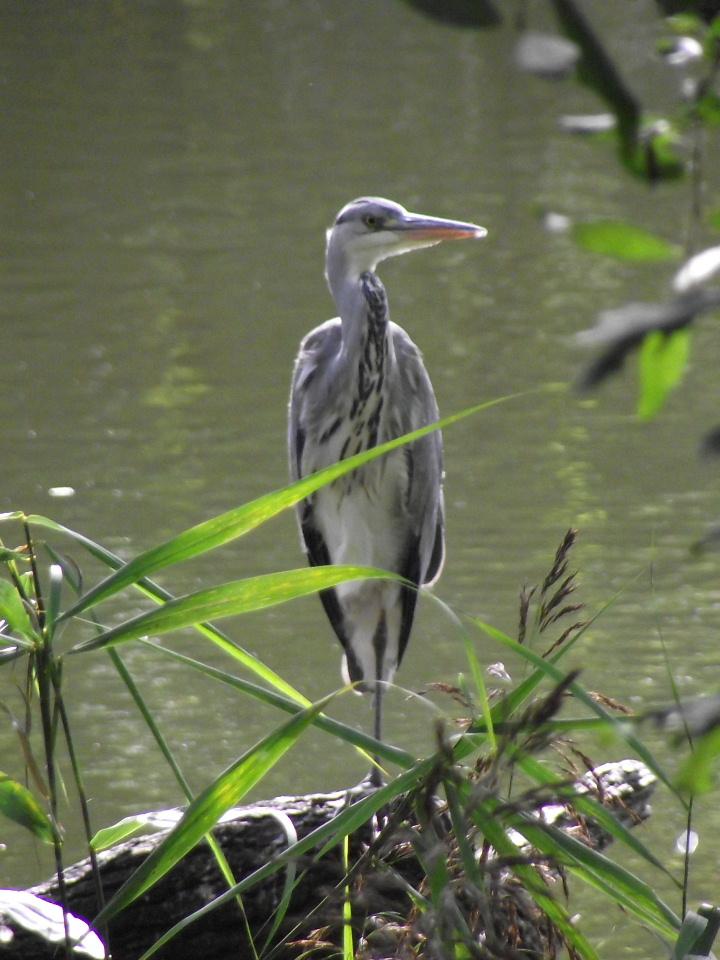 community Adult heron blue bay