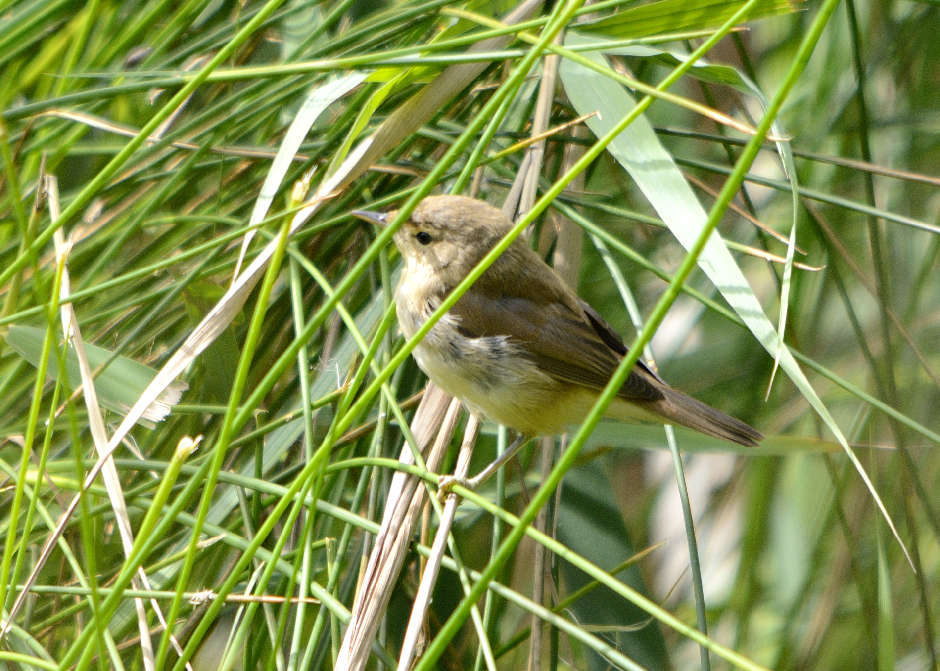 reed or marsh warbler identify this wildlife the rspb community
