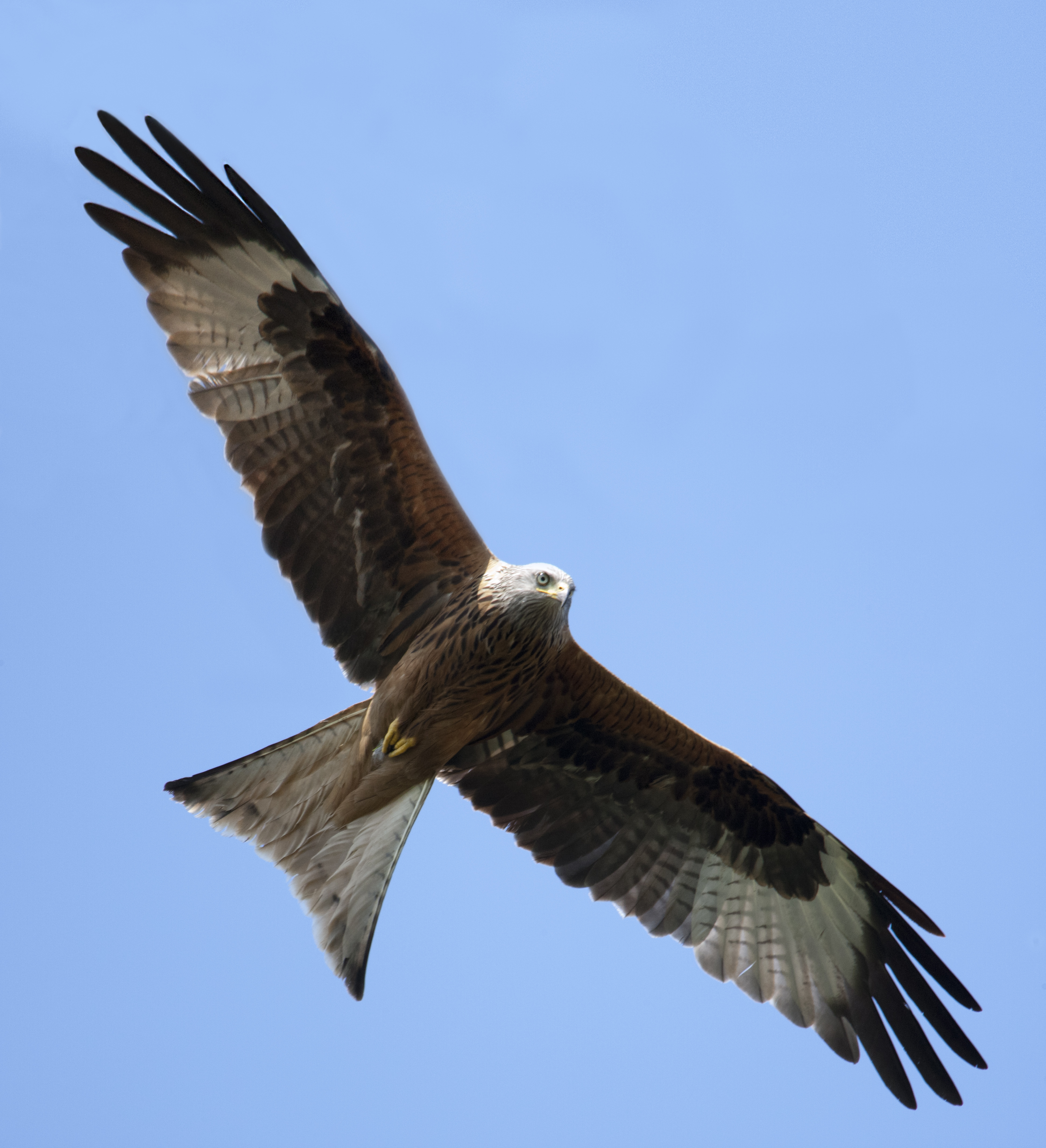 F Red Kite Project
