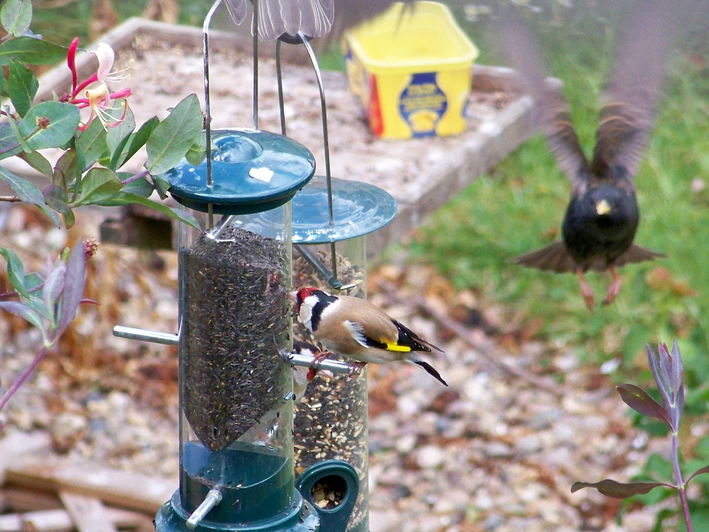 success at getting goldfinches in the garden wildlife in the garden homes for wildlife. Black Bedroom Furniture Sets. Home Design Ideas