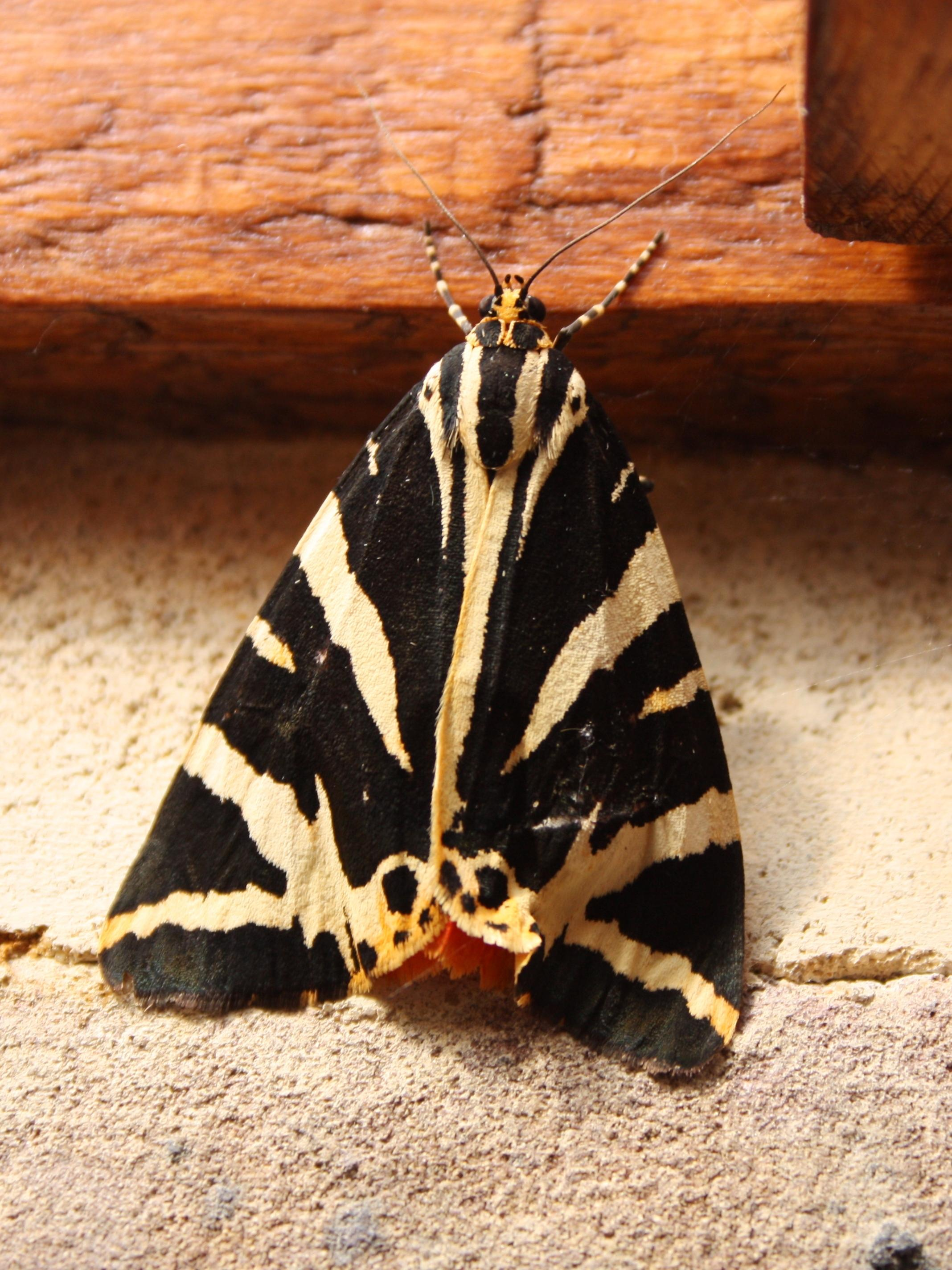 Jersey tiger in Orpington - Wildlife in the garden - Homes for ...