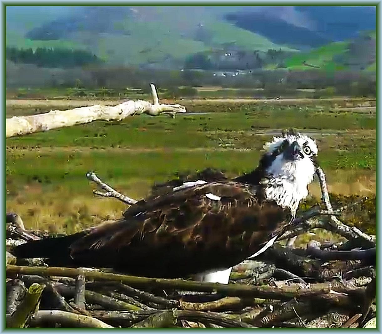 dyfi osprey project Bywyd gwyllt glaslyn wildlife this incredible osprey has now laid at least 48 eggs over 15 seasons at glaslyn trydydd wy o 2018 i mrs g ar y glaslyn.