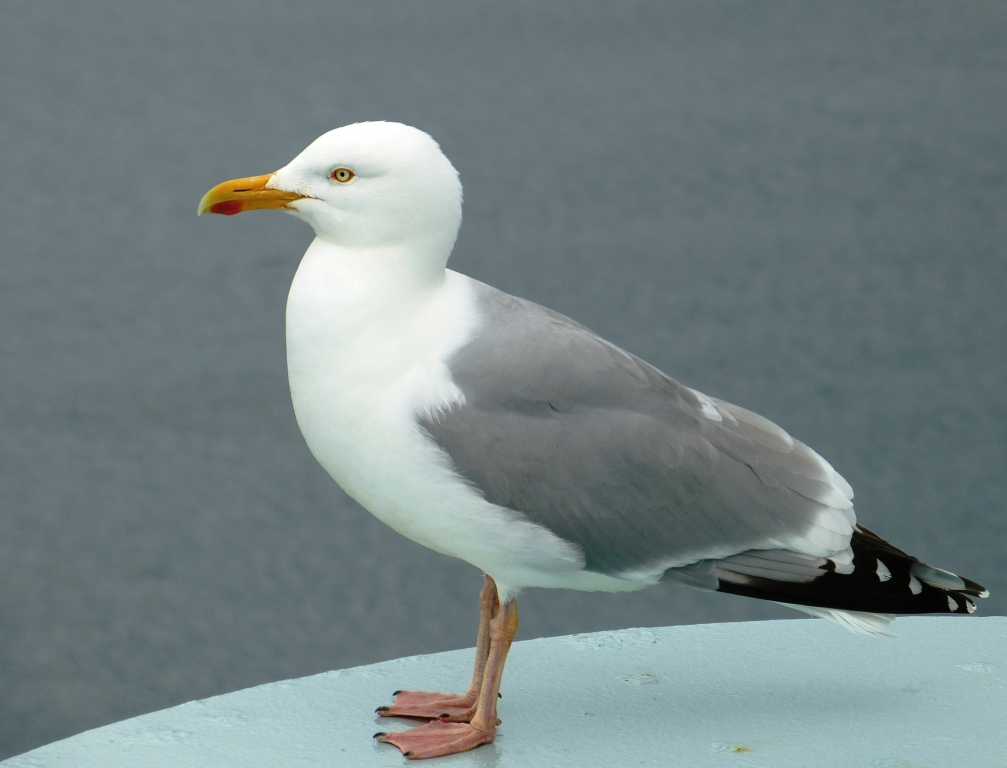 White Seagull Pictures To Pin On Pinterest  PinsDaddy