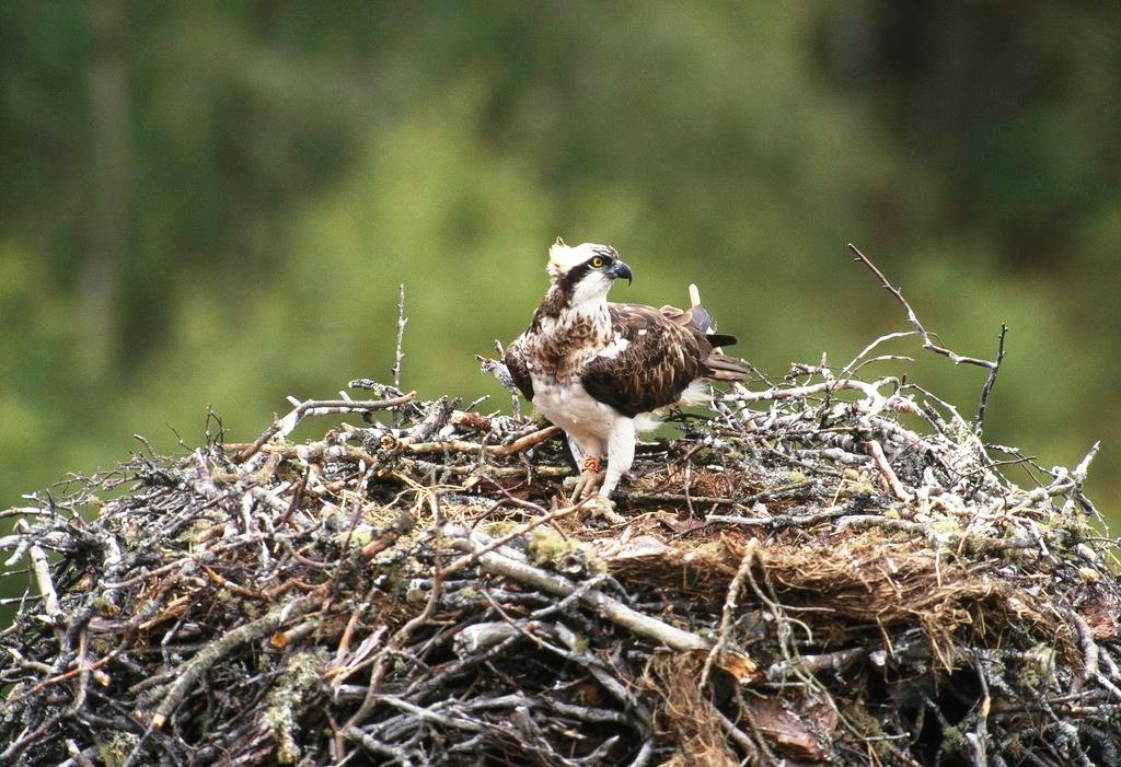 osprey chat Osprey terry thomas, 27 apr 2018 at 7:48 am comments information there are no comments to display category: australia - wildlife uploaded by: terry.