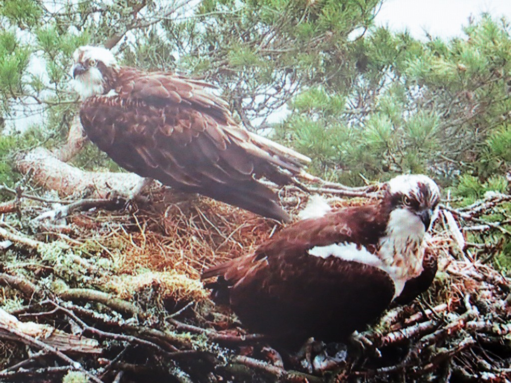 osprey chat Take a look at our live fort myers beach osprey webcam from sunbathers to volleyball players, there's plenty of fun to be had during your stay.