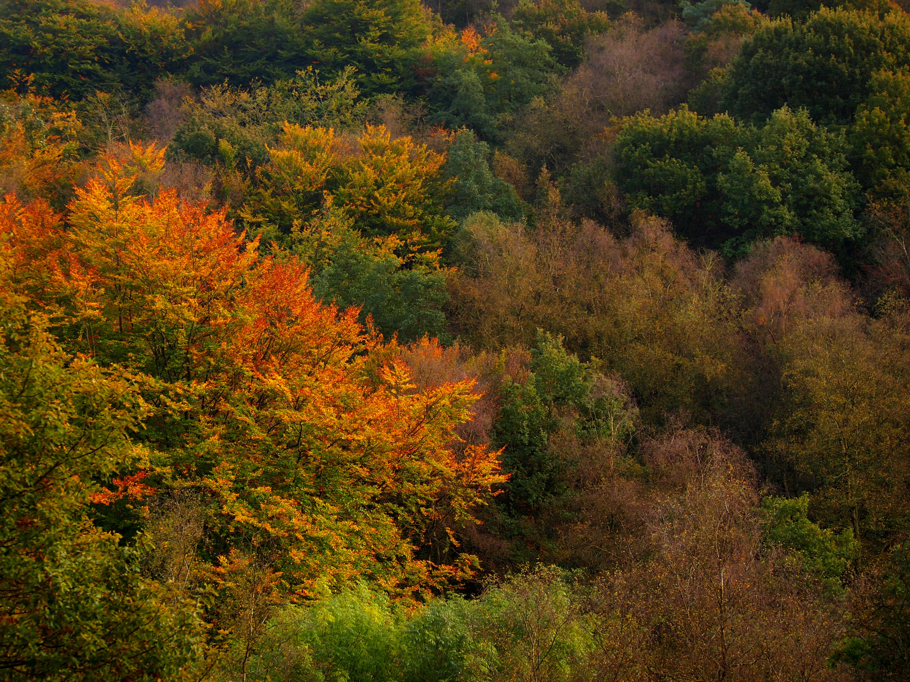 Autumnal Canopy at Coombes Valley