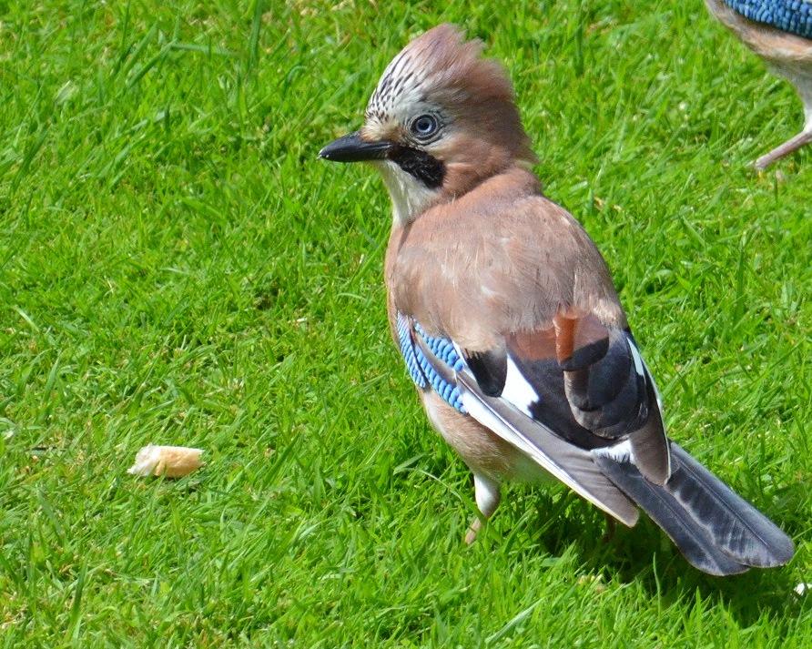 Jay in my garden