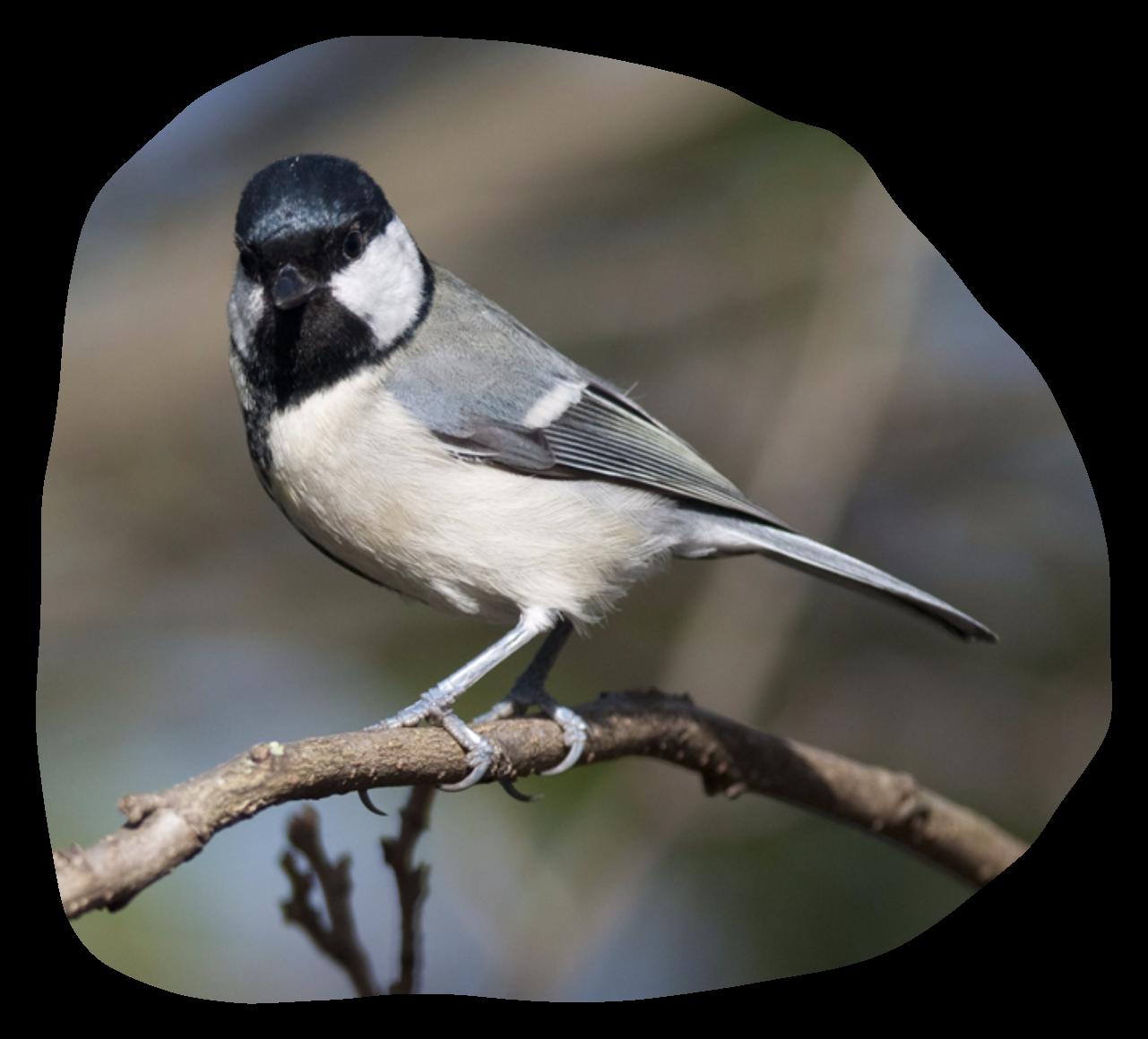 Tits Birds 67