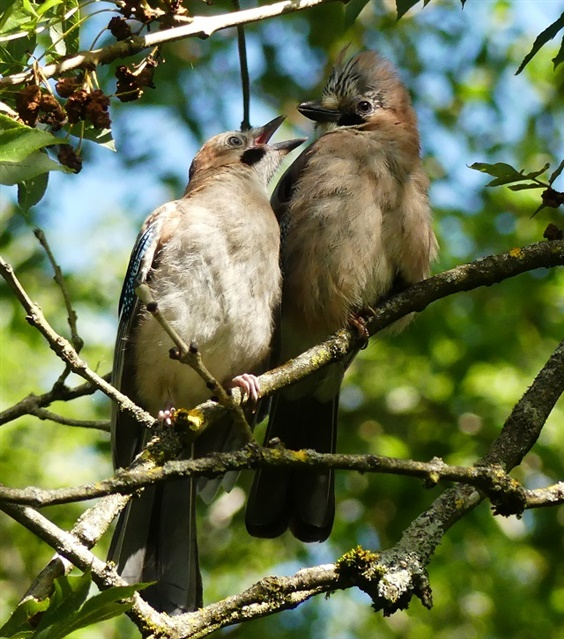 Young jay begging its parent for food