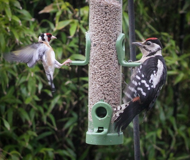 A great spotted woodpecker scares a goldfinch from a sunflower seed feeder