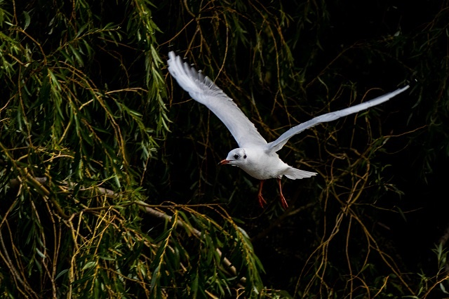 Black-headed gull in winter plumage - Dave Buttery
