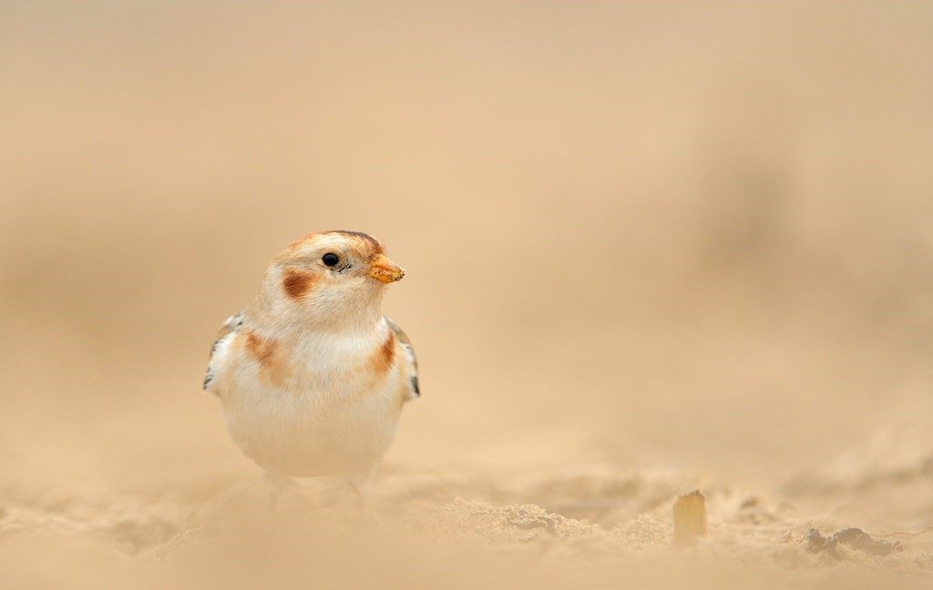 snow bunting on beach
