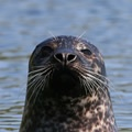 Common seal. Image by Tom Marshall (www.rspb-images.com)