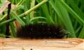 Garden Tiger Moth Larvae