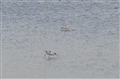 Avocets just after high tide
