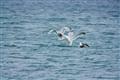Herring Gulls May 2011