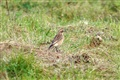 Whinchat outside The Loons hide 11/11/2011