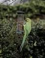 Rose Collared Parakeet