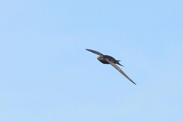 How to photograph swifts