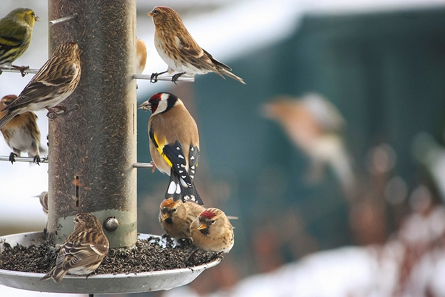 Birds of feeder
