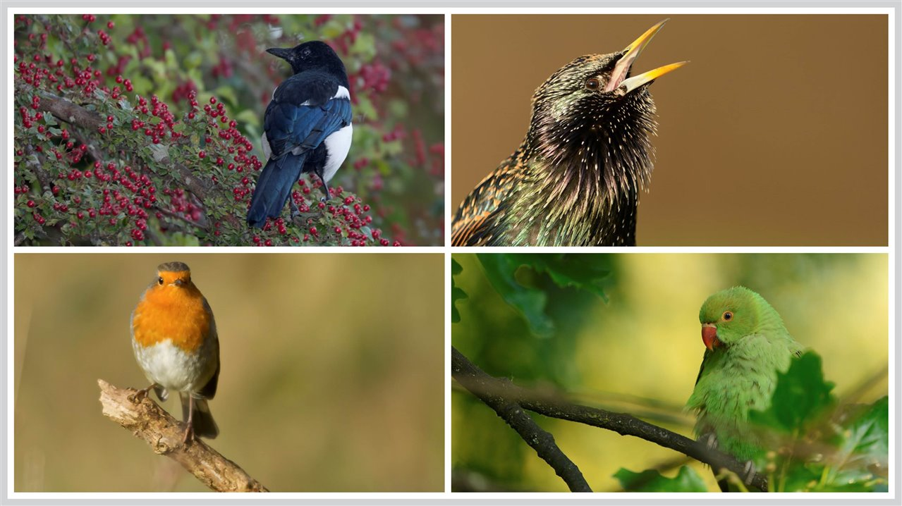 magpie, starling, robin, ring-necked parakeet