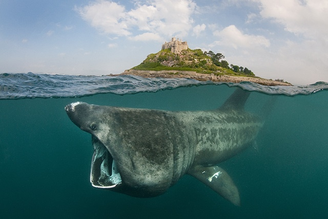where to see basking sharks in the UK