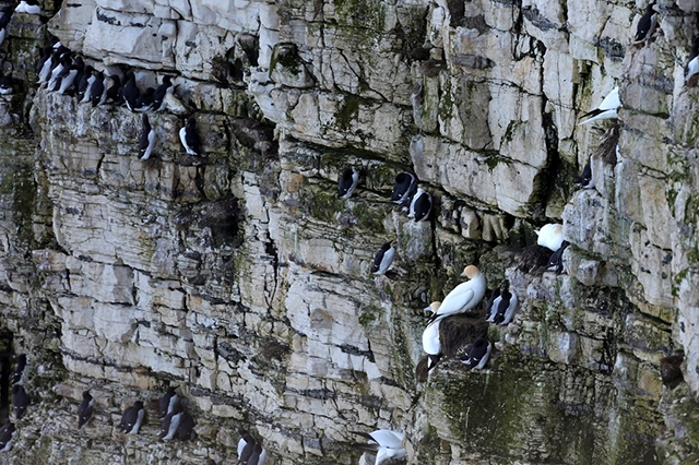 Seabirds at RSPB Bempton Cliffs