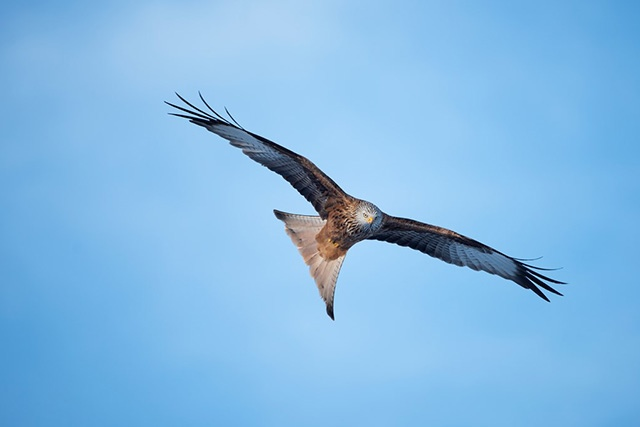 How to photograph birds of prey – red kite