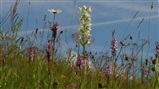 Greater Butterfly Orchid 24 June 2014
