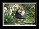 Atlantic Puffin on cliffside