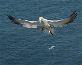 gannet landings in May