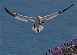 Gannets nesting in May