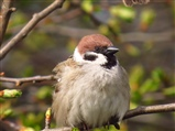 Tree Sparrow on a cold day