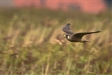 ...followed 20 mins later by peregrine