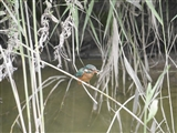 Kingfisher picture sent to us by Terry Chambers