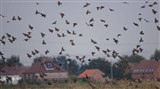 Starlings over the lagoons by Mike Johnson