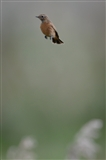 stonechat in mid air