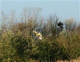 Ring-tailed Hen Harrier over the reeds at Marshlands