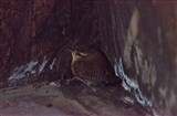Wee wren found in Xerox hide