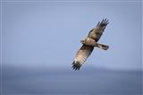 marsh harrier fly past