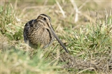 Snipe at Townend