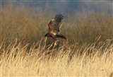 Marsh harrier with undercarriage down!
