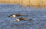 Greylag geese going flat out!