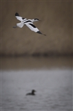 avocets are back